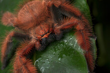 Red Giant Spider