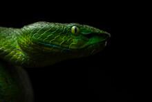 Venomous Viper Snake