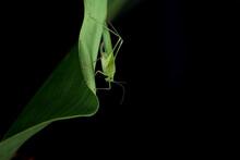 Grasshopper From Ecuador