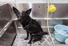 Curious Wet Small Black Dog In...