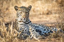 Adult Leopard Lying Down In Dr...