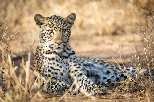 Adult leopard lying down in dry bush looking alert in Kruger Park in South Afric Fototapet