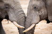 Two Elephants Fighting In Kruger Park In South Africa
