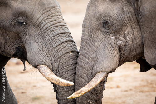 Two elephants fighting in Kruger Park in South Africa Fototapet