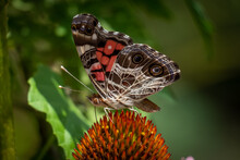 Profile View Of An American Lady Butterfly (Vanessa Virginiensis) Visits A Coneflower. Raleigh, North Carolina.