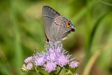 A Gray Hairstreak (Strymon Melinus) Visits A Blue Mistflower (Conoclinium Coelestinum). Raleigh, North Carolina.