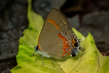 A Red-banded Hairstreak (Calycopis Cecrops) Rests On A Leaf. Raleigh, North Carolina.