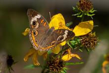 A Common Buckeye Butterfly (Ju...