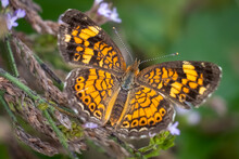 A Pearl Crescent (Phyciodes Th...
