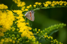 A Red-banded Hairstreak (Calycopis Cecrops) Enjoys The Goldenrod. Raleigh, North Carolina.