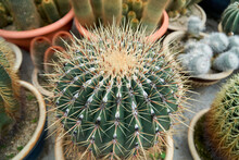 Close Up View Of Beautiful Cactus In A Pot At The Cactus Farm
