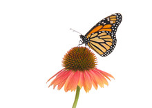 Close Up Of One Female Monarch Butterfly On Top Of A Pink And Peach Colored Cone Flower. Profile View Isolated On White.