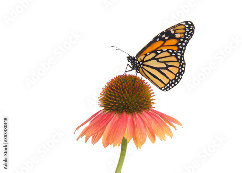 Fotografie, Obraz Close up of one female Monarch butterfly on top of a pink and peach colored cone flower