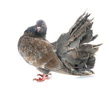 Fantail Pigeon In Studio