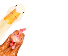 Funny Duck And Chicken Looking Out Isolated On A White Background