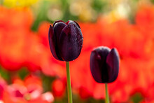 Waterdropped Tulips, Queen Of ...