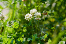 White Flowering Clover Trifoli...
