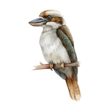 Kookaburra Bird Watercolor Illustration. Australia Native Bird Hand Drawn Realistic Illustration. Single Big Kingfisher On A Branch Image. Sitting Kookaburra Wild Australian Animal On White Background