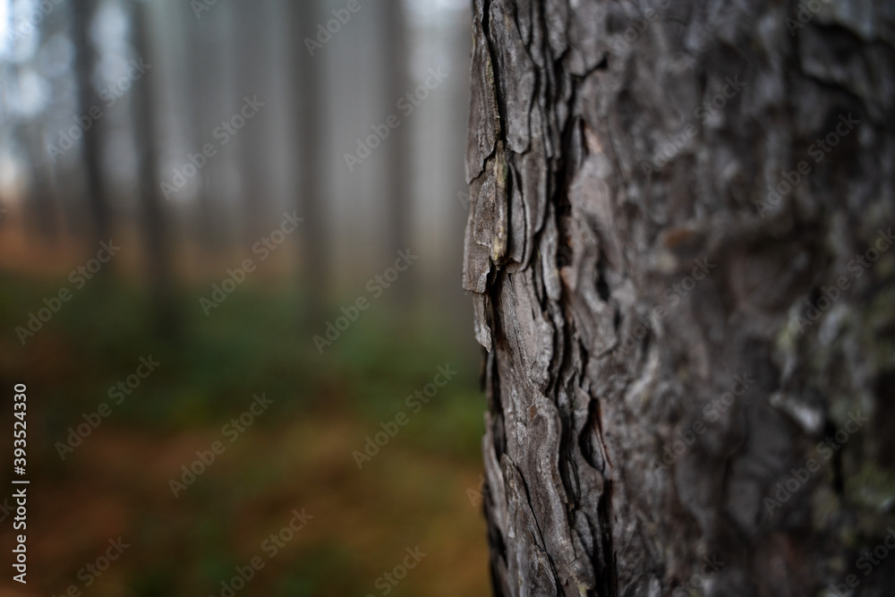 Fototapeta Pine trunk in the forest close up, natural eco background and texture minimalistic image