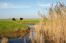 Brown Cows Grazing On Grasslan...
