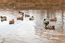 Selective And Soft Focus Ducks...