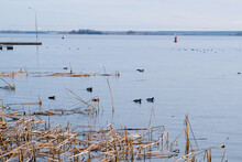 Reeds On The Lake. Ducks On Th...