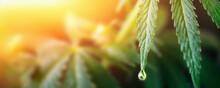 Large Drop On The Edge Of Hemp Leaf, CBD Oil Cannabis Concept, Hemp Oil, Medicine Products. Cannabidiol Or CBD Cannabis. Beautiful Background, A Place For Copy Space