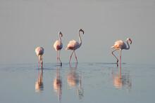Greater Flamingo, Phoenicopter...