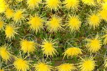 Yellow Chrysanthemum In Full B...