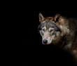 Close-up Of Wolf Against Black Background