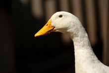 Close-up Portrait Of A Duck On...