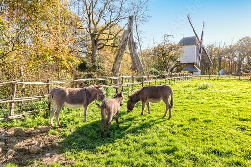 Cute donkeys with mother and foal in the meadow of Bokrijk, Belgium Fotobehang
