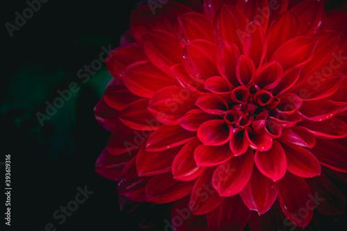 Close up sur une fleur de dahlia couleur rouge éclatant Canvas