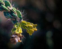 Isolated Cane Cholla Cactus Flower With Blurred Background Showing Resilience To Drought And Arid Environment Due To Global Warming