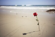 Red Rose On Beach