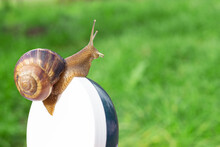 Brown Snail Crawling On A Jar ...