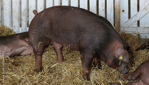 Canvastavla Black pig in farm on hay