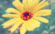 Close-up Of Wet Yellow Flower Blooming Outdoors