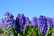 Blue Hyacinth In The Garden Cl...