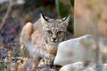 Bobcat Croching Behind A Rock