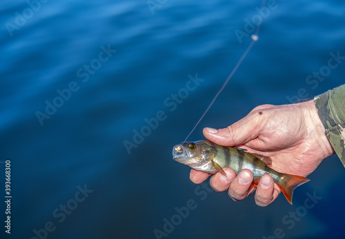 Fotografija A small striped fish caught on a hook in a man's hand