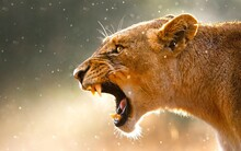 Side View Of Lioness Roaring