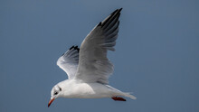 Black-headed Gull In Flight - ...