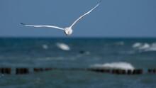 Black-headed Gull In Flight - ...