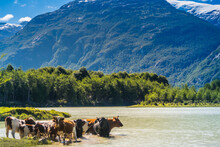Flock Of Cows Crossing The Baker River. Carretera Austral, Patagonia - Chile.