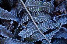 Frosty Fern Leaves In The Winter Garden.