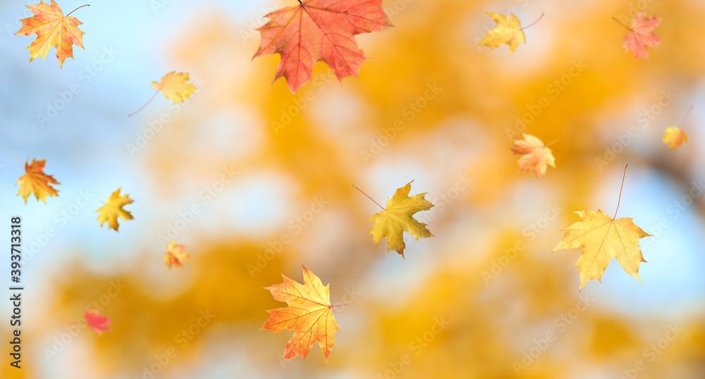 Fototapeta Autumn season. Beautiful leaves falling in park. Banner design