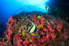 Moorish Idols And Other Tropic...