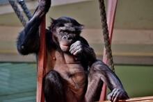 Bonobo Im Zoo Berlin