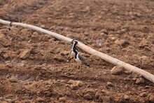 Two Red Wattled Lapwing Resting On The Ground Near By Black Water Pipe In Agriculture Empty Farm
